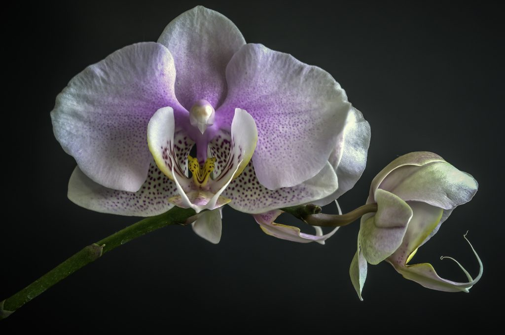©Stephen Reed, Moth Orchid