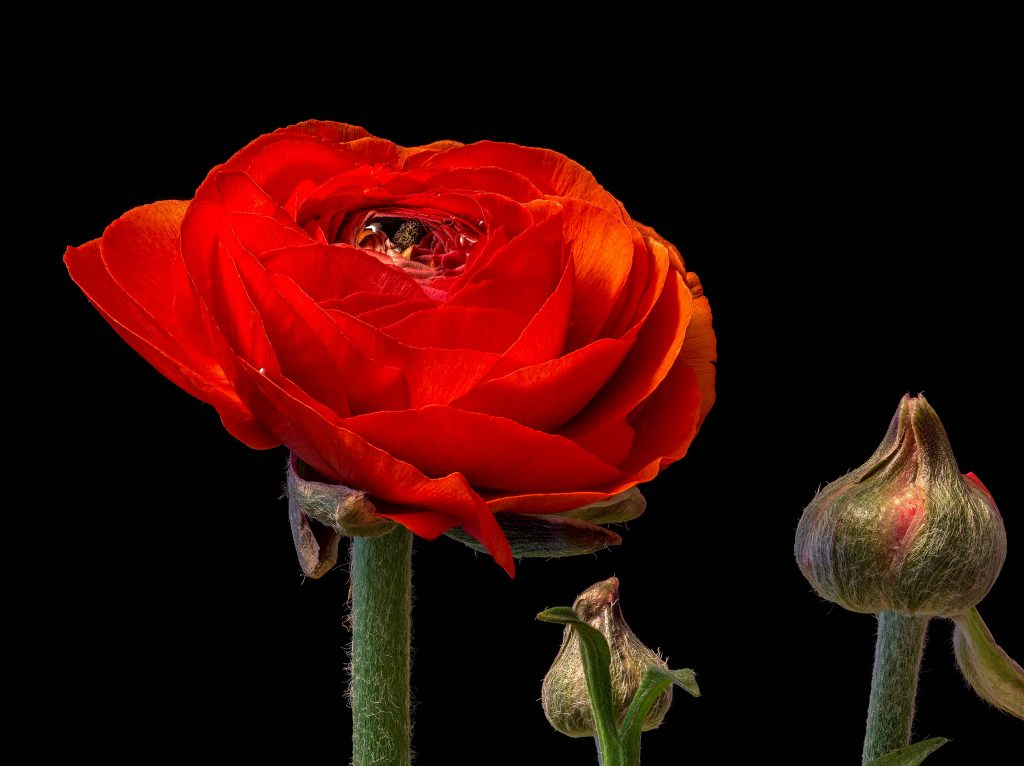 ©Anthony Worsdell, Ranunculus flower, 30 images
