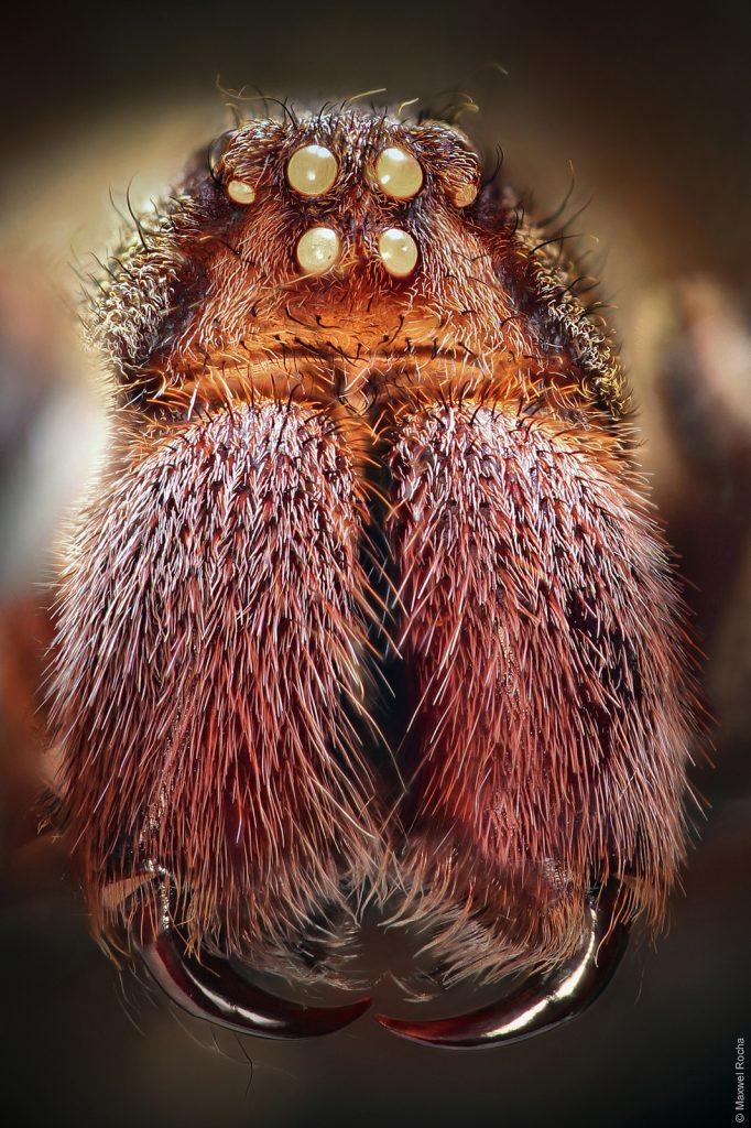 ©Maxwel Rocha, Brazilian wandering spider, 25 image stack