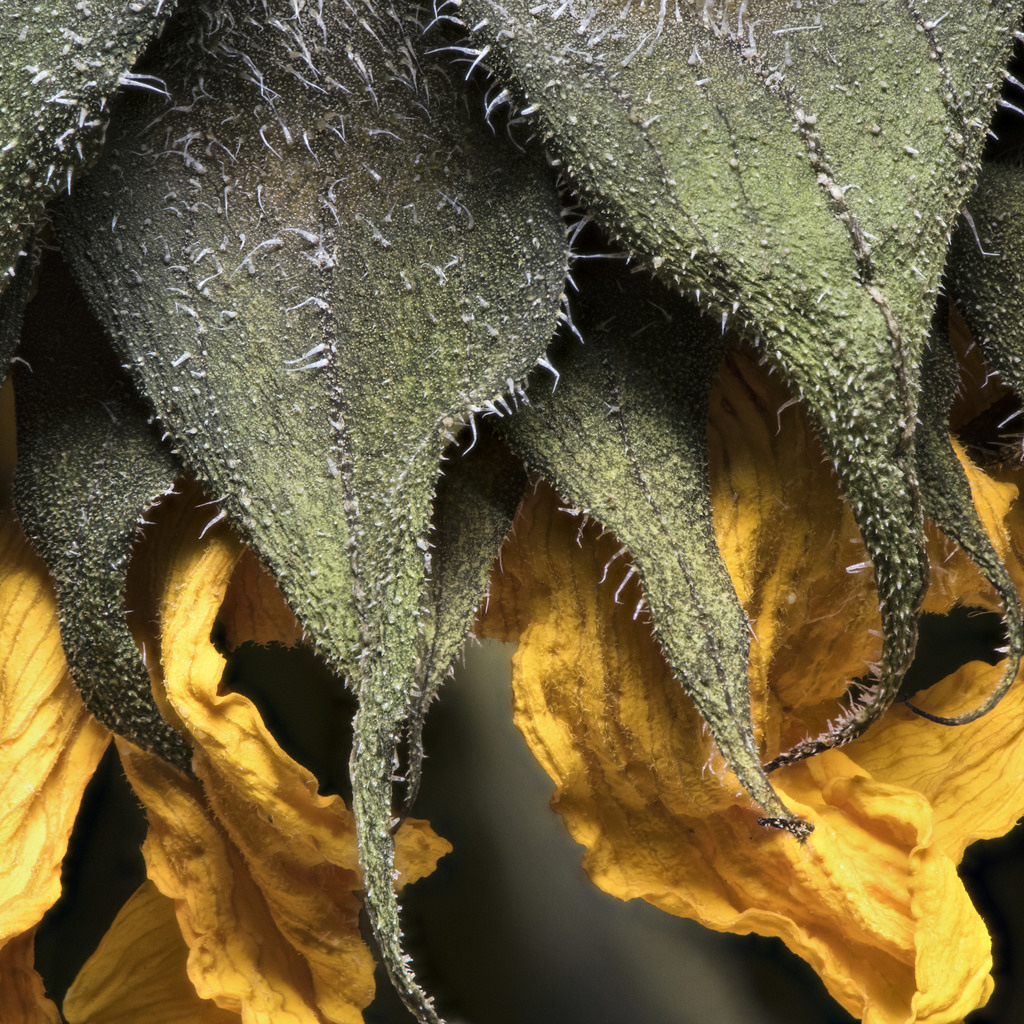 ©Peter A. Blacksberg, Sunflower Detail in Old Age