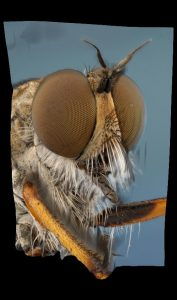 Helicon Focus - муха разбойник